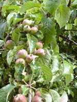 Apfelbaum mit Fruechten_DSC00226