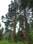 Riesen-Mamutbaum-P5224665