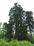 Riesen-Mamutbaum-P5224666
