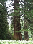 Riesen-Mamutbaum-P5224824