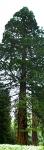Riesen-Mamutbaum-P5224825_stitch