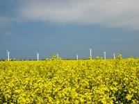 Insel Rügen_Windräder im Rapsfeld bei Altefähr_P5234859