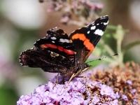 Admiral-Schmetterling_mfw13__026116