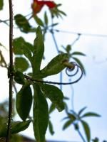 Passiflorablatt_P8182484