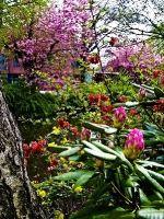 Rhododendron _Quitte_4228089-2