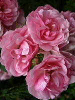 rosa_ Rosen_Blueten_P6269495