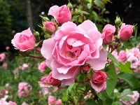 rosa Beet_Rosen_P6269497
