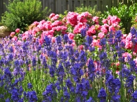 Rosen und Lavendel_P7029623