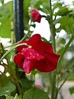 rote Edelwicke mit Regentropfen_ P8182487
