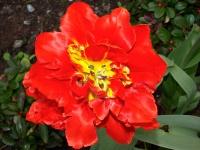 rote Tulpe_4207977