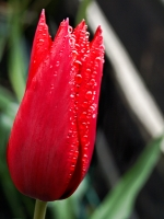 rote Tulpe mit Tautropfen_AA130289