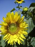 Sonnenblume_DSCI0013