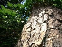 Spinnennetz am Baum_ AA170498