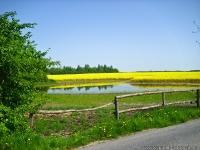 Teich und Rapsfeld auf Ruegen_-002