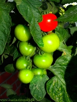 Tomaten am Strauch_ _8160246