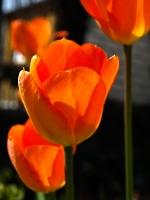 Tulpe_Blueten_AA249175