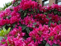 weinroter Rhododendron _5228605
