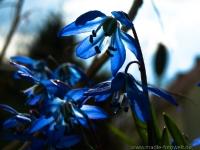 zweiblaettriger Blaustern_ P8102164