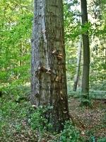 mit Hallimasch infizierter Baum__A102556