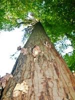 mit Hallimasch infizierter Baum__A102559