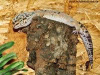 leopardgecko_7