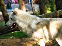 polarwolf_A030966
