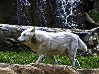 polarwolf_A031012