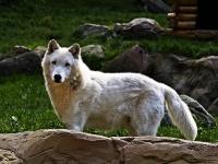 polarwolf_A031013