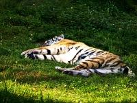 sibirischer_Tiger_A030970