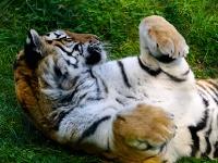 sibirischer_Tiger_A030977