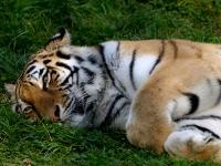 sibirischer_Tiger_A030981
