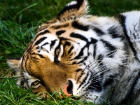 sibirischer_Tiger_A030982