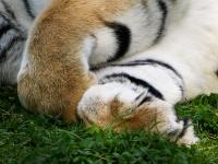 sibirischer_Tiger_A030989