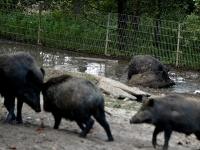 wildschweine_A031073