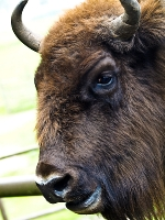 wisent_A030826