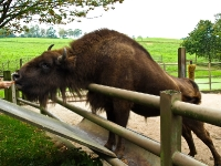 wisent_PA036906